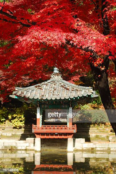 a photo of a red japanese maple tree - gyeongbokgung palace 個照片及圖片檔