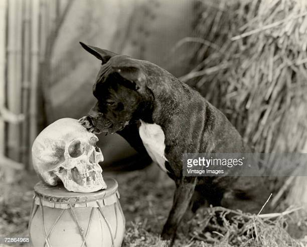 Photo of a Staffordshire Bull Terrier as it paws a human skull early twentieth century