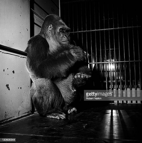 Photo of Bushman a 550 pound silverback gorilla from Cameroon who grew up in Chicago's Lincoln Park zoo sitting in his cage 1950