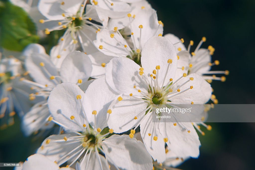 Photo of the flowering crabapple tree with white flowers and stock photo of the flowering crabapple tree with white flowers and stock photo mightylinksfo