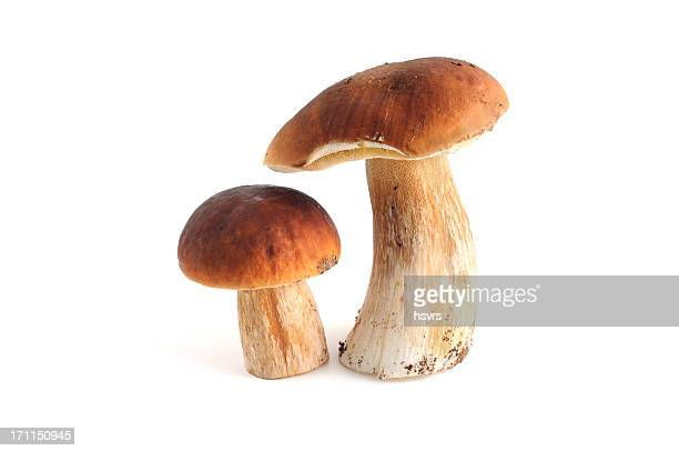 photo of two porcini mushrooms not yet harvested - edible mushroom stock pictures, royalty-free photos & images