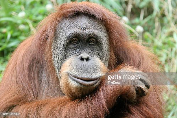 Photo portrait of a hairy orangutan, his head on his forearm