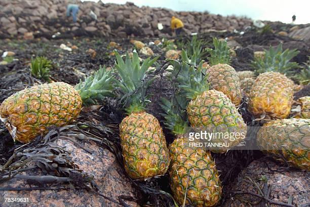 photo prise le 10 dcembre 2007 Trebeurden d'ananas provenant d'un conteneur rempli d'ananas qui tait tomb la veille d'un cargo librien et qui s'est...