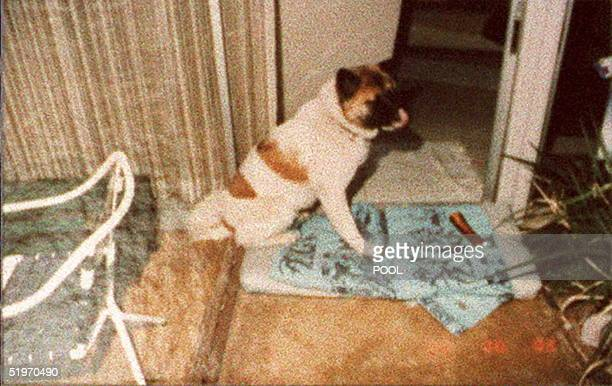 """Photo released 08 February during the O.J. Simpson double murder trial shows O.J. Simpson ex-wife Nicole Brown Simpson's akito dog """"Kato"""" which led..."""