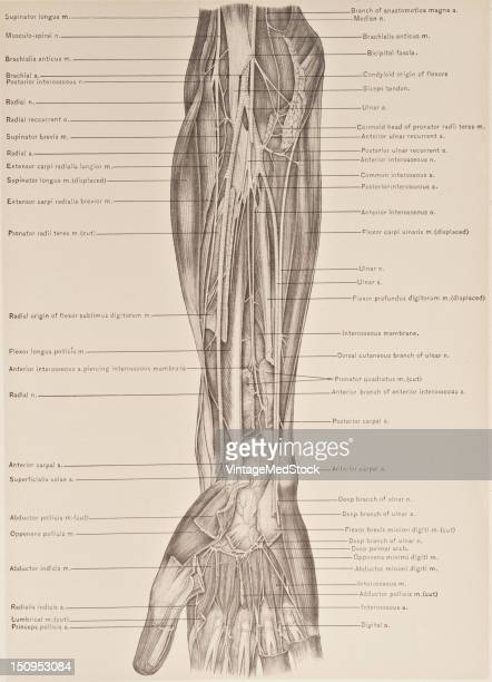 Photo represents placements of each artery and nerve of the front of the forearm 1899 From 'The Treatise of the Human Anatomy and Its Applications to...