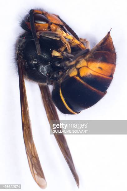 A photo shows a Asian Hornet on September 30 2014 at the Research Institute of Biology of the Insect in Tours central France The Asian Hornet an...