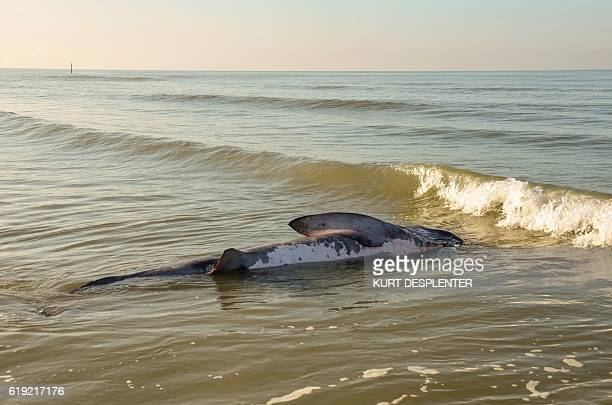 A photo shows a dead basking shark at the North Sea beach of De Panne on October 29 2016 The shark is a Cethorinus Maximus measuring 3 metres a...