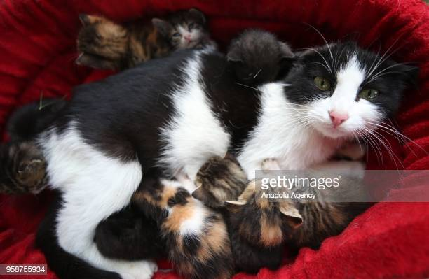 A photo shows a mother cat and her kittens in Bursa Turkey on May 14 2018