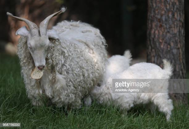 A photo shows a mother goat and her babies in Bursa Turkey on May 14 2018