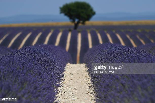 A photo shows a view of a lavender field in Valensole southern France on June 18 2017 / AFP PHOTO / BORIS HORVAT