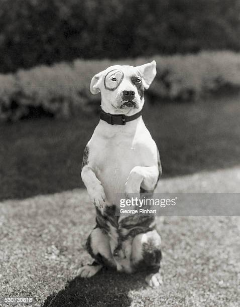 Photo shows Petey the dog featured in Hal Roach's Our Gang pictures He is shown standing on his hind legs Ca 1930s