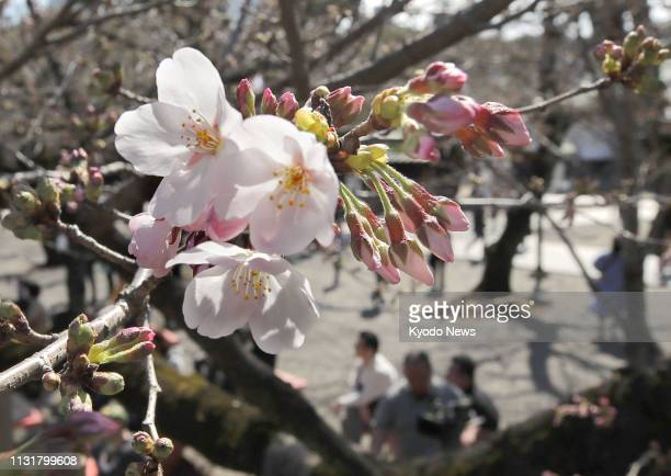 Photo shows Somei Yoshino cherry blossoms blooming at Tokyo's Yasukuni Shrine on March 21 2019 ==Kyodo