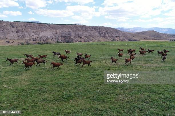 A photo shows the Arabian thoroughbred horses at horserearing field in Sultansuyu Agricultural Enterprise of Turkey's Ministry of Agriculture and...
