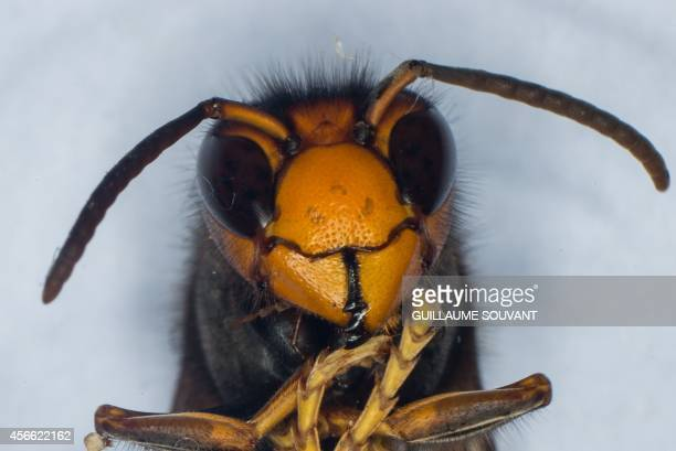 A photo shows the head of a Asian Hornet on September 30 2014 at the Research Institute of Biology of the Insect in Tours central France The Asian...