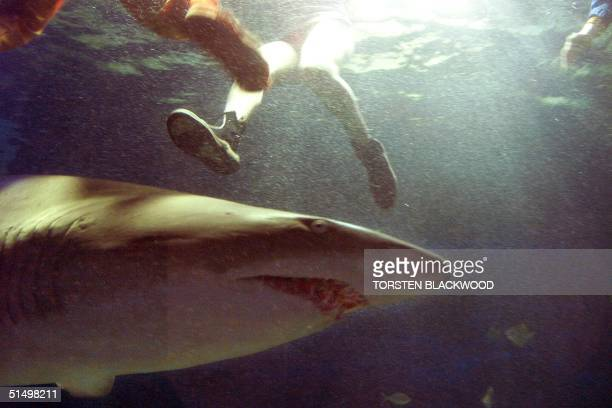 A photo taken 13 May 1999 shows a grey nurse shark swimming among bathers at Oceanworld in Sydney where overseas triathlon competitors have expressed...