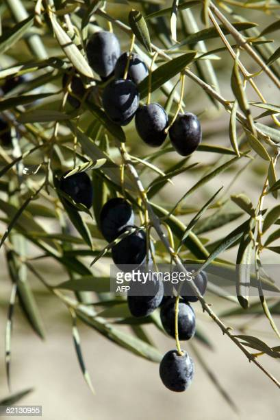 A photo taken 25 January 2005 shows a olives for oil production at an olive grove in Jaen In the southern Spanish province of Jaen a majority of the...