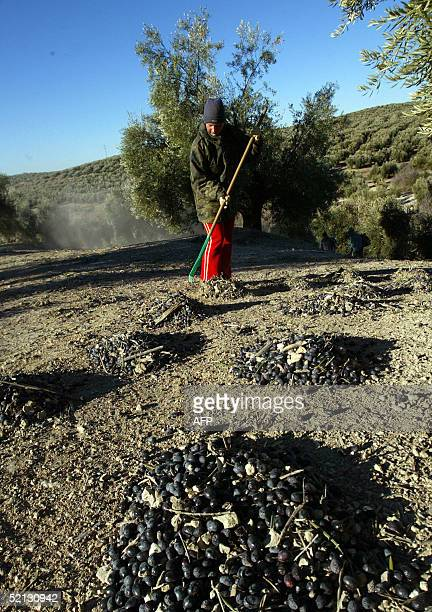 A photo taken 25 January 2005 shows a person piling olives for oil production at an olive grove in Jaen In the southern Spanish province of Jaen a...