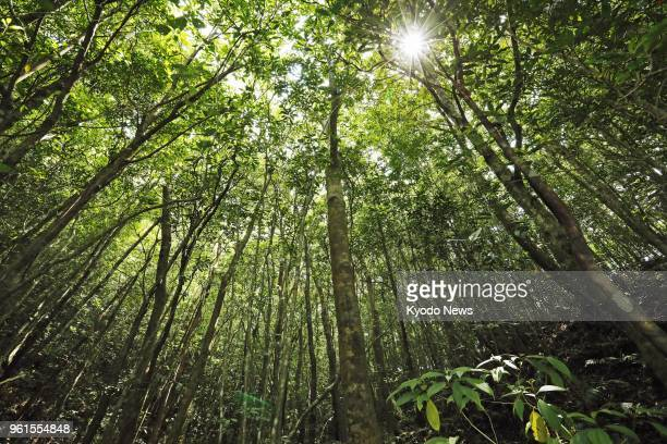 Photo taken April 28 shows a forest on AmamiOshima Island southern Japan ==Kyodo