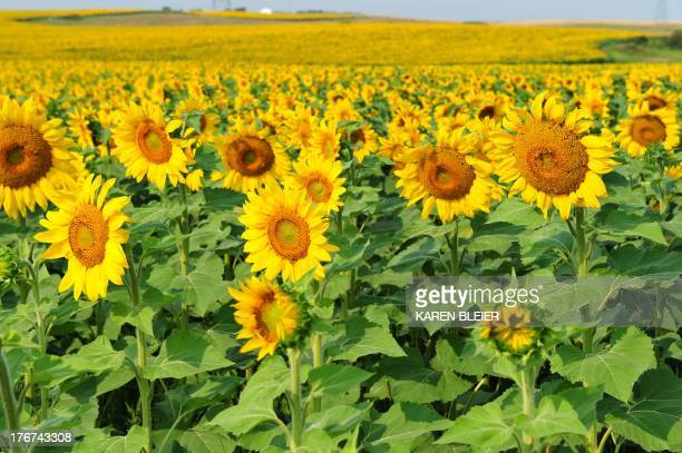 Photo taken August 18 2013 shows sunflowers in a field near Bismarck North Dakota AFP PHOTO / Karen BLEIER