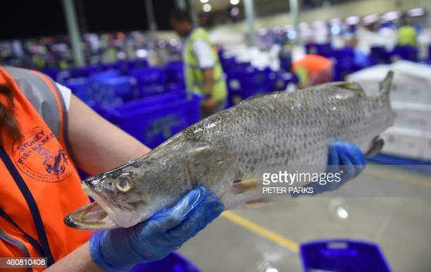 Photo taken early on December 23 2014 shows a vendor holding a barramundi for sale in the auction house at the Sydney Fish Market in Sydney The...