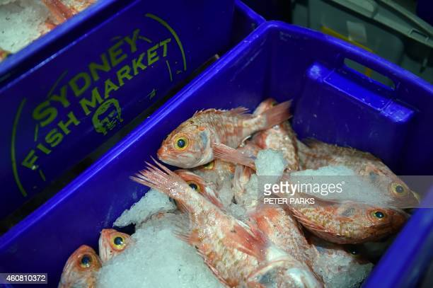 Photo taken early on December 23 2014 shows fish for sale in the auction house at the Sydney Fish Market in Sydney The Sydney Fish Markets opened for...