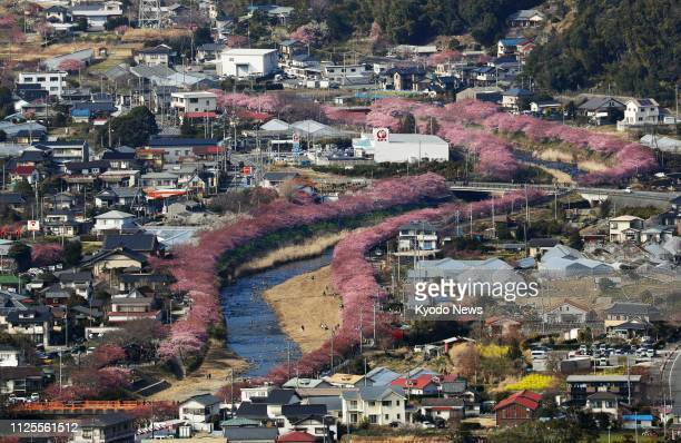 Photo taken Feb 18 from a Kyodo News helicopter shows about 850 cherry blossom trees along a river in Kawazu Shizuoka Prefecture central Japan Cherry...