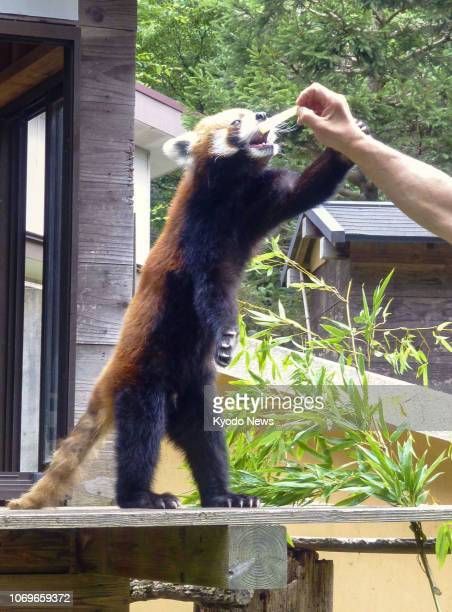 Photo taken July 5 shows Futa a red panda at the Chiba Zoological Park east of Tokyo ==Kyodo