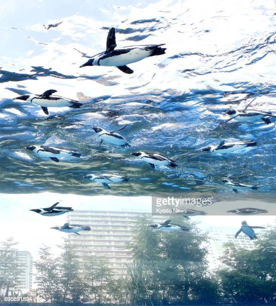 Photo taken June 14 shows penguins swimming in an overhead tank on the rooftop of a ninestory building at Sunshine Aquarium in Tokyo's Ikebukuro...
