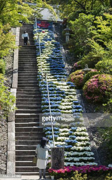 Photo taken May 31 shows some 600 pots of blue, white and red hydrangea flowers displayed on stone steps at Mimuroto temple in Uji in Kyoto...