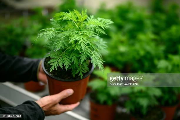 A photo taken on 21 April 2020 at the Agroscope in Conthey shows young Artemisia annua plants which the president of Madagascar has officially...