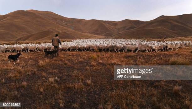 A photo taken on 21 April shows farmer Neville Powell in the early morning light as a flock of merino sheep are prepared to be taken 15 kilometres up...