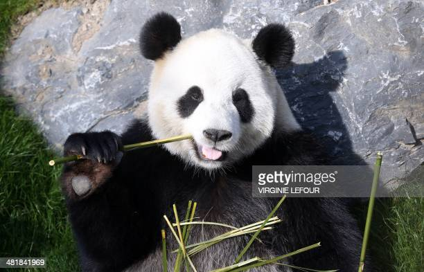A photo taken on April 1 2014 shows the giant panda Hao Hao eating bamboo at Pairi Daiza animal park in Brugelette Belgium AFP PHOTO / BELGA /...