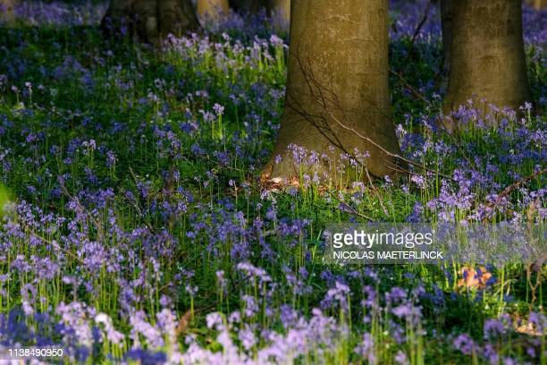 A photo taken on April 21 2019 shows wild bluebells which bloom around midApril turning the forest completely blue and forming a carpet in the...