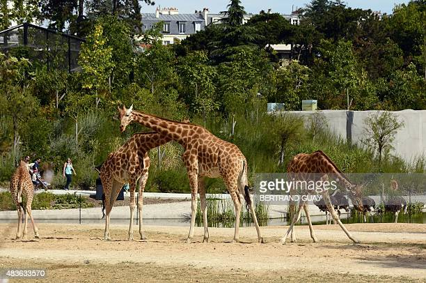 A photo taken on August 10 2015 shows giraffes at the Paris Zoological Park formerly known as the Bois de Vincennes Zoological Park in Paris The zoo...