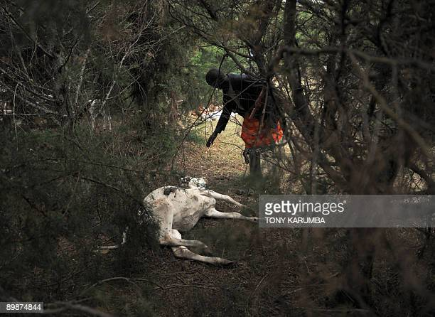 Photo taken on August 17 2009 shows a Kenyan Maasai herder examining the carcas of a dead cow in the forests of Mount Kenya near Nanyuki town where a...