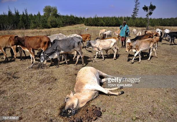 Photo taken on August 17 2009 shows a Kenyan Maasai herder shepherding his flock past the carcas of a dead cow in the forests of Mount Kenya near...