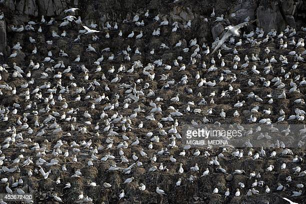 A photo taken on August 7 2014 shows Northern Gannets on Rouzic Island in the SeptIles archipelago in the Cote d'Armor off the northern coast of...