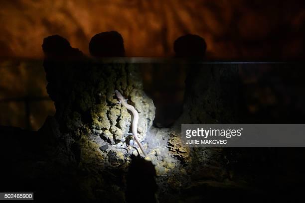 A photo taken on December 25 2015 shows an olm in Postojna Cave in Postojna / AFP / JURE MAKOVEC