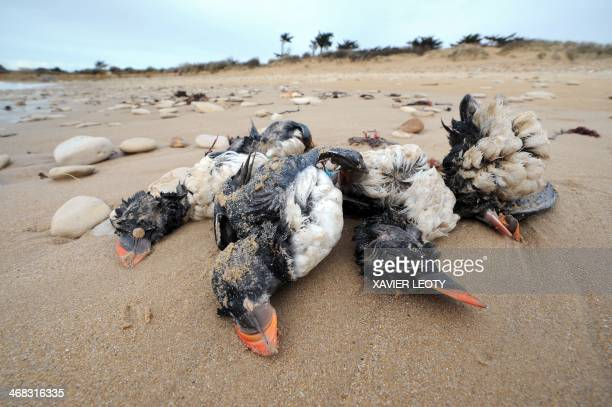 Photo taken on February 10 2014 shows the bodies of puffins washed up on a beach in SainteMariedeRe western France after heavy storms The Atlantic...