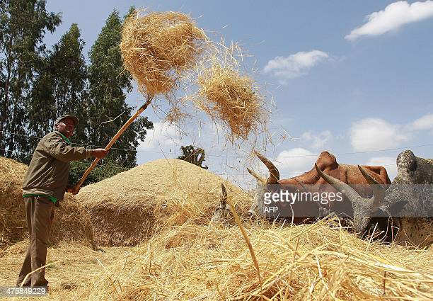 Photo taken on February 21 2014 shows a farmer winnowing a dried teff crop to separate seeds from stalks at Ada village in Bishoftu town Oromia...