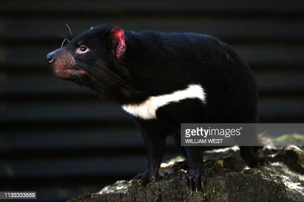 """Photo taken on February 23, 2019 shows a Tasmanian devil at """"Devils @ Cradle"""", a refuge that maintains a disease-free insurance population of devils..."""