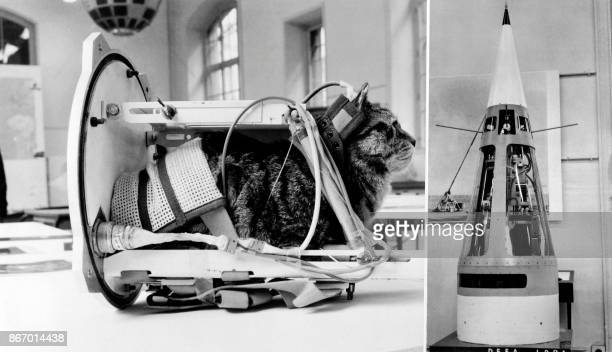 Photo taken on February 5 1964 shows a cat representing the first cat that went into space Felicette with equipment in the rocket Veronique during an...