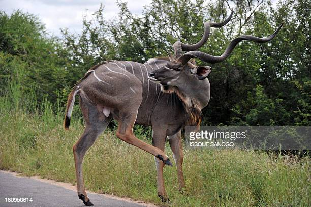 Photo taken on February 6 2013 shows a Greater Kudu in the Kruger National Park near Nelspruit South Africa AFP PHOTO / ISSOUF SANOGO