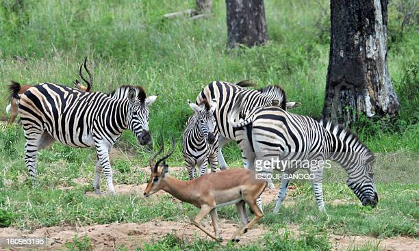 Photo taken on February 6 2013 shows plains zebras in the Kruger National Park near Nelspruit South Africa AFP PHOTO / ISSOUF SANOGO