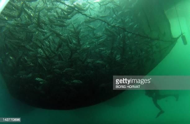 A photo taken on January 12 2012 shows fish farmer Aurélien Bergeron swimming around a fishing net containing sea bass at the Frioul fish farm near...
