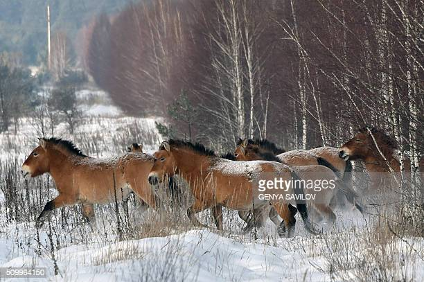 A photo taken on January 22 2016 shows wild Przewalski's horses on a snow covered field in the Chernobyl exclusions zone In 1990 a handful of...