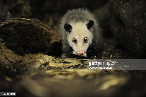 A photo taken on June 9 2011 shows Heidi a crosseyed opossum in her enclosure at the zoo in Leipzig eastern Germany Heidi who became an Internet...