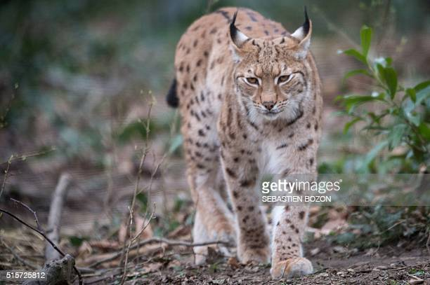 A photo taken on March 15 2016 shows a lynx at the zoo in Mulhouse eastern France / AFP / SEBASTIEN BOZON