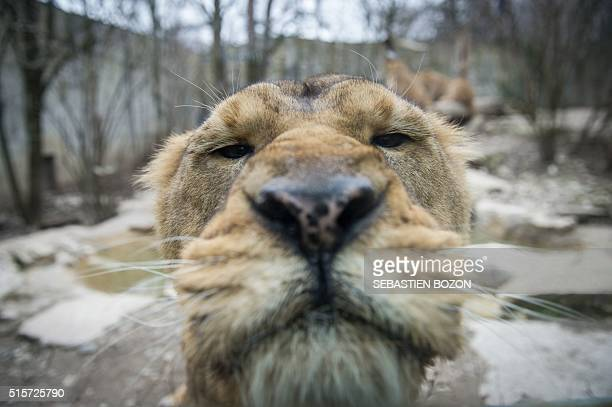 A photo taken on March 15 2016 shows an Asian lion at the zoo in Mulhouse eastern France / AFP / SEBASTIEN BOZON