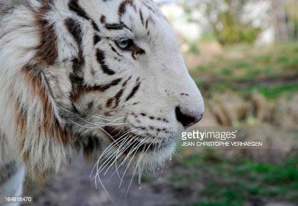 A photo taken on March 25 2013 shows an albino tiger at a zoological park the eastern French city of Amneville AFP PHOTO / JEANCHRISTOPHE VERHAEGEN
